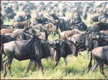 Best of Wildebeest Migration