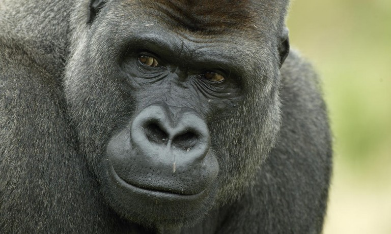 western-lowland-gorilla-heroHI_279168